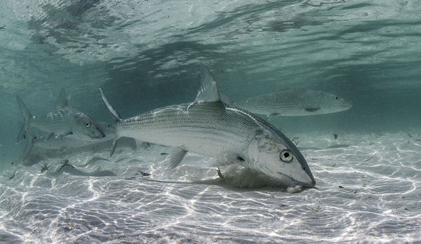 Best Caribbean Island For Fly Fishing