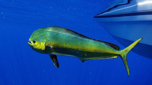 little-corn-island-nicaragua-beach-bungalow-eco-lodge-resort-hotel-sport--offshore-fishing-mahi-mahi-dolphin-fish-dorado