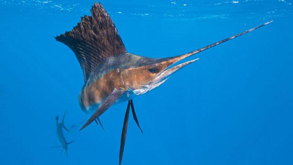 little-corn-island-nicaragua-beach-bungalow-eco-lodge-resort-hotel-sport--offshore-fishing-sailfish