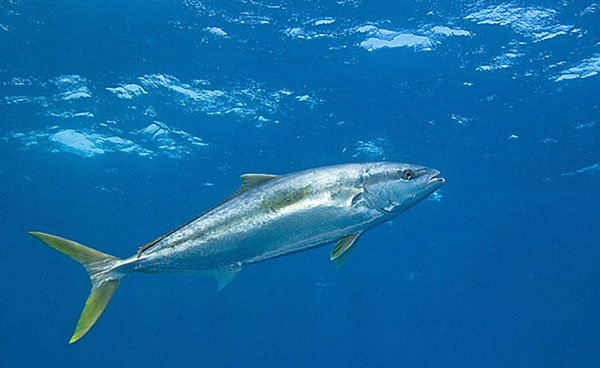 little-corn-island-nicaragua-beach-bungalow-eco-lodge-resort-hotel-sport--offshore-fishing-yellow-tail-fin-tuna