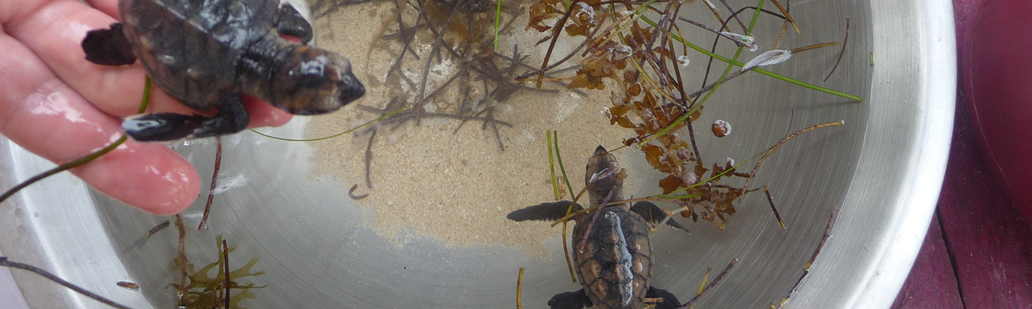Little Corn Island Beach and Bungalow Turtle Rescue
