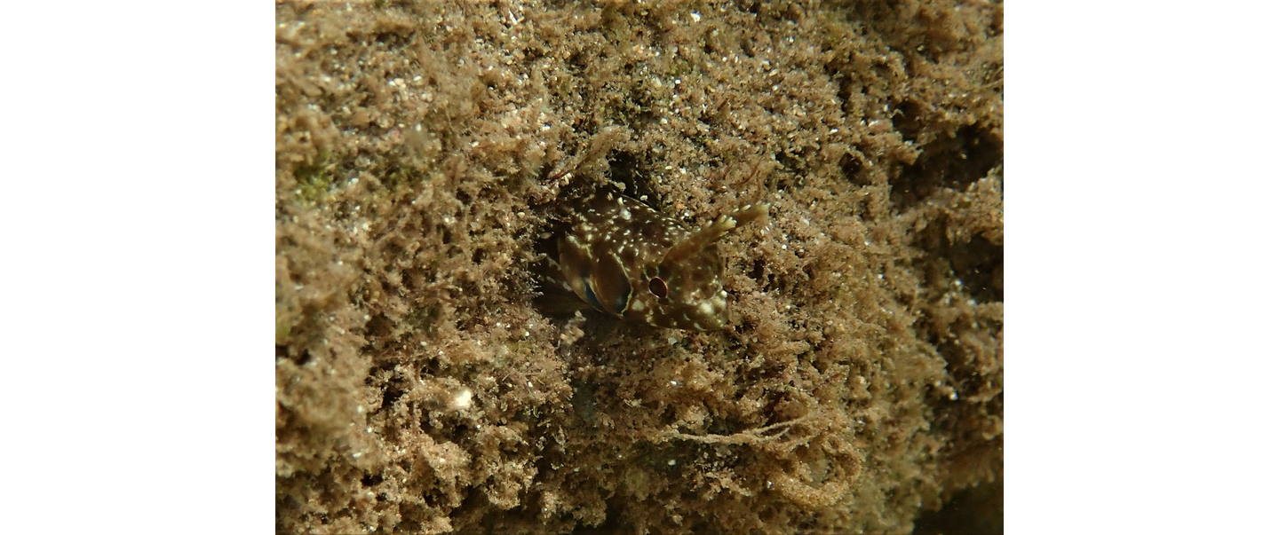 Little Corn Island Moth Blenny Photo by Ellie Place