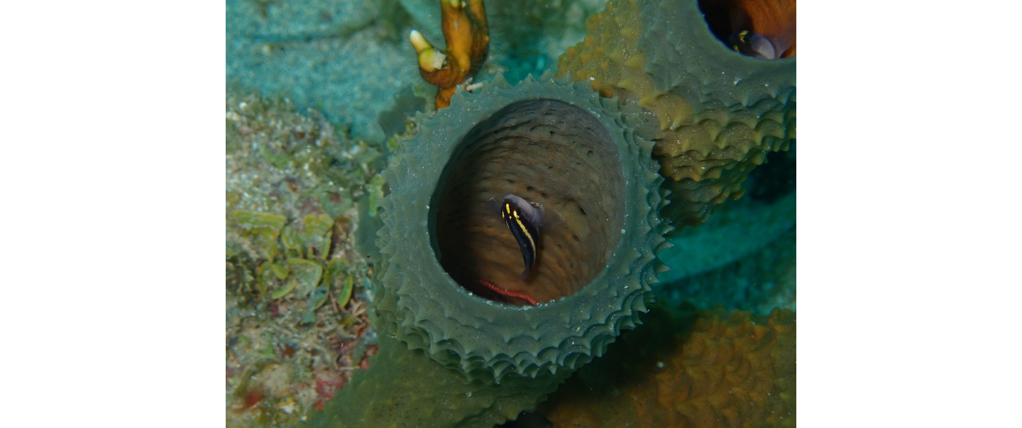 Little Corn Island Nicaraguan Yellowprow Goby Photo by Ellie Place