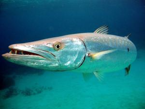 little-corn-island-nicaragua-beach-bungalow-eco-lodge-resort-hotel-sport--offshore-fishing-barracuda